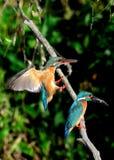 Pares de martín pescador Foto de archivo libre de regalías