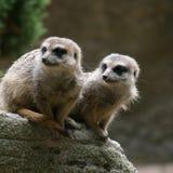 Pares de Meerkats Fotografia de Stock