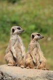 Pares de Meerkats Imagem de Stock