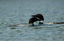 Pares de mergulhões-do-norte em Maine imagens de stock royalty free