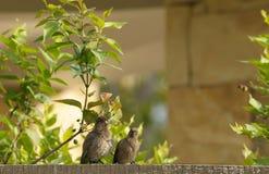Pares de mousebirds, charlando en la cerca Imagen de archivo