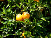 Pares de naranjas en árbol Fotos de archivo libres de regalías