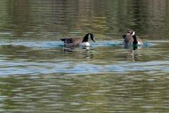 Pares de nata??o do canadensis do branta dos gansos de Canad? em um lago na mola adiantada com reflex?es da vegeta??o foto de stock royalty free