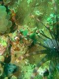Pares de Nudi dos peixes do leão Imagem de Stock