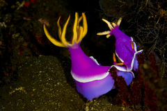 Pares de nudibranchs roxos do dorid Fotografia de Stock