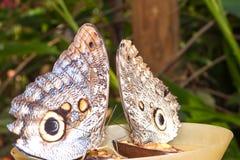 Pares de oileus de Caligo del gigante, la mariposa gigante del búho de Oileus, ama Imagen de archivo