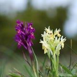 Pares de orquídeas salvajes fotografía de archivo libre de regalías