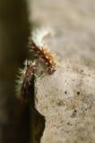 Pares de orugas de la mariposa de coma Foto de archivo libre de regalías