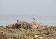 Pares de Ospreys empoleirados nos arbustos Imagens de Stock Royalty Free