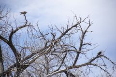 Pares de Ospreys na árvore desencapada imagens de stock