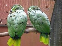 Pares de pájaros amarillos y verdes Imágenes de archivo libres de regalías
