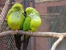 Pares de pájaros amarillos y verdes Fotografía de archivo