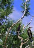 Pares de pájaros en árbol seco Fotografía de archivo