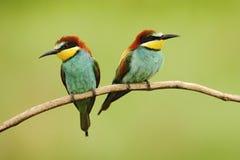 Pares de pájaros hermosos Abeja-comedor europeo, apiaster del Merops, sentándose en la rama con el fondo verde Imagen de archivo libre de regalías