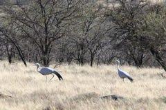 Pares de pássaros azuis do guindaste que cortejam em sul - bushfeld africano foto de stock royalty free