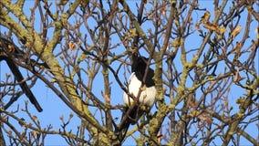 Pares de pássaros britânicos da pega que empoleiram-se na árvore filme