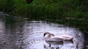 Pares de pássaros da cisne que procuram o alimento na água do rio Foto de Stock