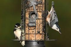 Pares de pássaros em um alimentador Fotografia de Stock
