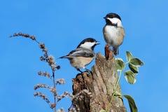 Pares de pássaros em um registro Fotografia de Stock