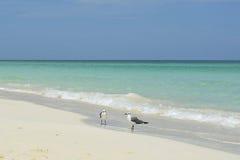 Pares de pássaros na praia de Cayo Santa Maria (Cuba) Fotos de Stock