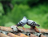 Pares de pássaros no cartão de love imagem de stock