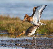 Pares de pássaros vadeando Foto de Stock