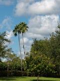Pares de palmeiras altas Fotos de Stock Royalty Free