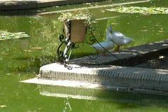 Pares de palomas foto de archivo
