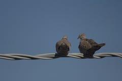 Pares de palomas Imágenes de archivo libres de regalías