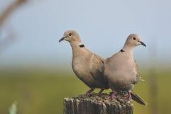 Pares de palomas Imagenes de archivo