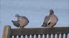 Pares de palomas de madera costeras en banco metrajes