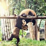 Pares de panda gigante Fotografía de archivo libre de regalías