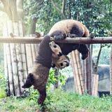 Pares de panda gigante Foto de archivo libre de regalías