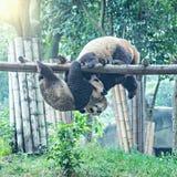 Pares de panda gigante Imágenes de archivo libres de regalías