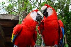 Pares de papagaio Fotografia de Stock Royalty Free