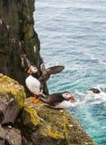 Pares de papagaio-do-mar atlânticos Foto de Stock