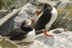 Pares de papagaio-do-mar atlânticos que fazem o olho-contato na ilha do selo de Machias, Canadá imagens de stock royalty free