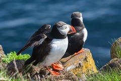Pares de papagaio-do-mar em uma rocha, Islândia Foto de Stock Royalty Free