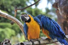 Pares de papagaios Fotografia de Stock