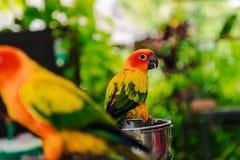 Pares de papagaios amarelos Fotografia de Stock Royalty Free