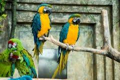 Pares de papagaios, assento azul-e-amarelo do ararauna das aros da arara Imagens de Stock