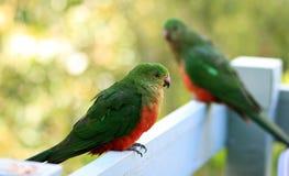 Pares de papagaios do rei Fotografia de Stock