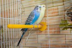 Pares de papagaios ondulados em uma gaiola Imagens de Stock Royalty Free