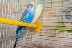 Pares de papagaios ondulados em uma gaiola foto de stock