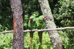 Pares de papagaios verdes Imagem de Stock