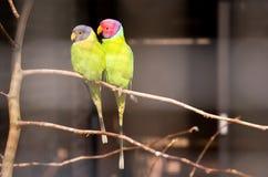 Pares de parakeet ameixa-dirigido imagens de stock