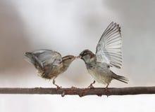 Pares de pardais pequenos bonitos dos pássaros que discutem no flapp do ramo imagens de stock royalty free
