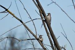 Pares de parpadeos septentrionales encaramados en un árbol Imagen de archivo