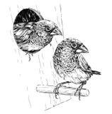 Pares de passarinho japonês que sentam-se no ramo perto do ninho Imagem de Stock Royalty Free
