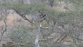 Pares de passarinhos Vermelho-Dirigir que descolam de uma árvore video estoque